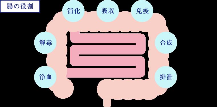 【腸の役割】浄血・解毒・消化・吸収・免疫・合成・排泄