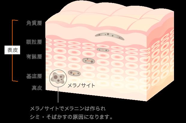 メラノサイトでメラニンは作られ、シミ・そばかすの原因になります。